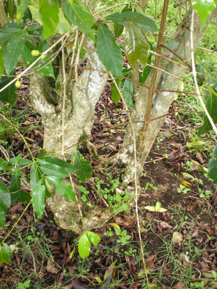 Senile Coffee Tree- Asaro Valley